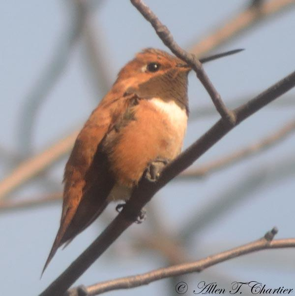 An adult male Rufous hummingbird perched in a tree.