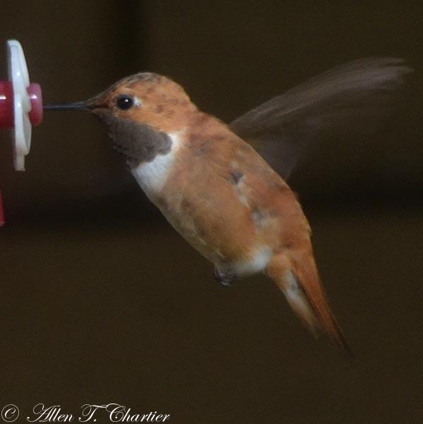 A male Rufous hummingbird at a feeder.