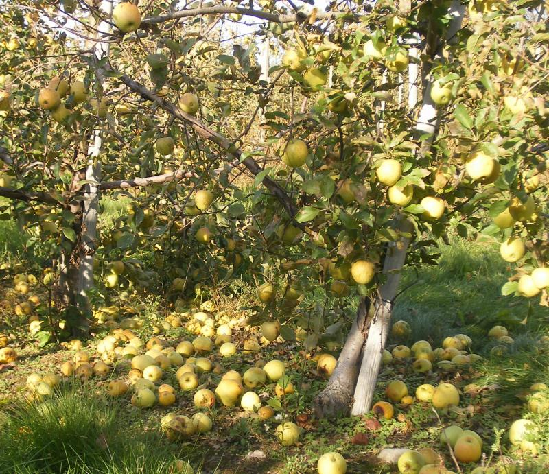 Golden Delicious apples lie on the ground beneath a tree in Sparta due to lack of skilled harvesters.