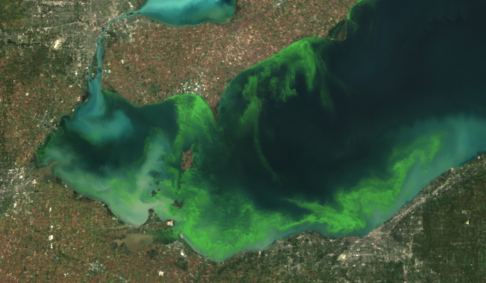 The 2011 algae bloom on Lake Erie. Significant blooms returned to Lake Erie around 2000-01. Researchers are looking into how these blooms affect fish.