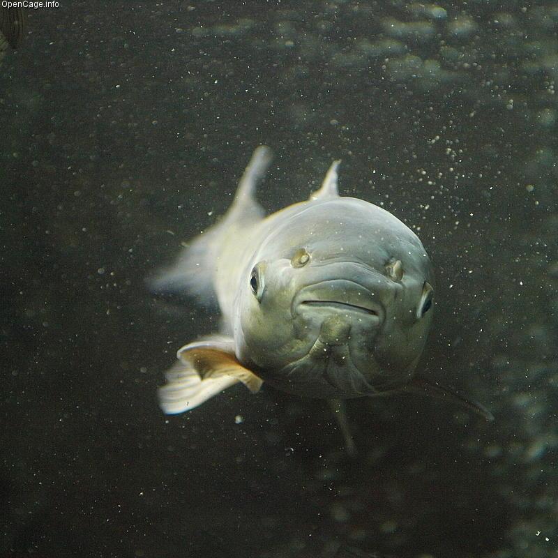 Asian carp