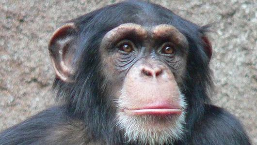 A female chimpanzee