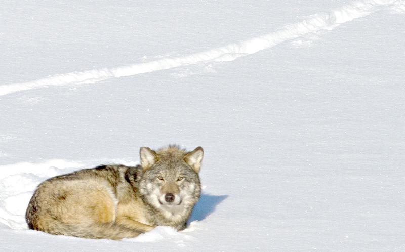 Wolf on Isle Royale.