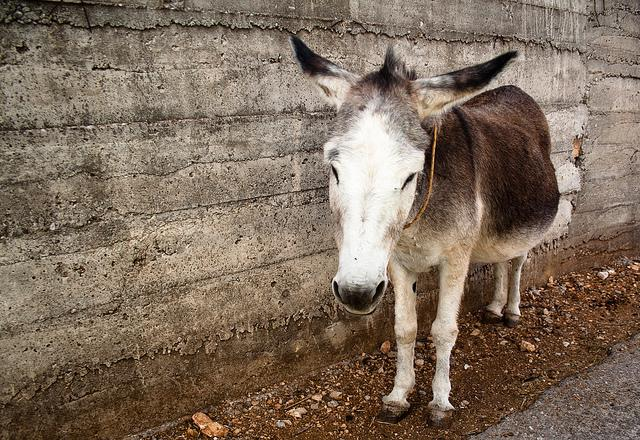 Donkeys can be used on cattle farms to keep canine predators away. (Not a photo of a donkey provided to Koski.)