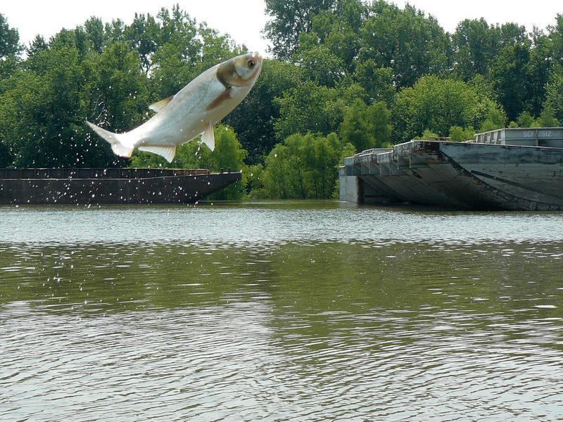 Silver carp jumping.