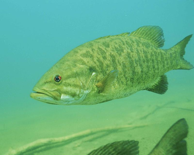 The USGS found that a third of all the male smallmouth bass they sampled had intersex traits.