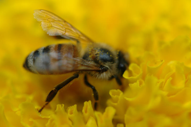 The USDA is trying to improve the honeybees' diets.