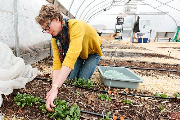 Harvesting over winter spinach in a hoop house.