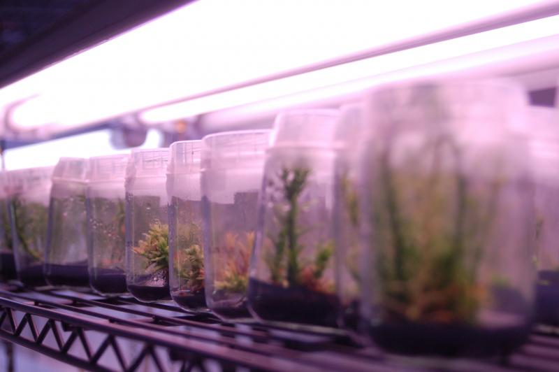 The micro-propagation room is where pieces are grown in agar in airless jars.