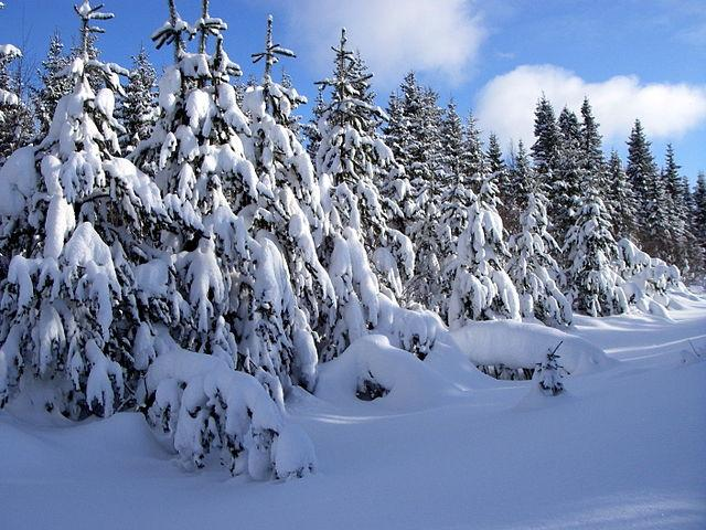 Harsh winter may have damaging effects on pine trees - Images of pine trees in snow ...