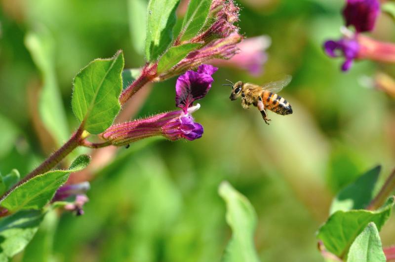 Honey bee flying to cuphea flower.