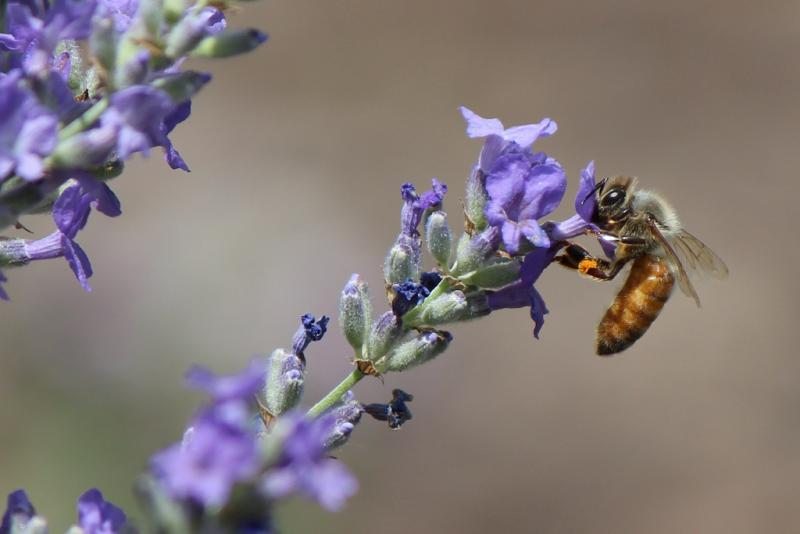 A honeybee collects pollen.