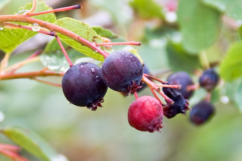 Saskatoons look like purple blueberries, but taste like apples.