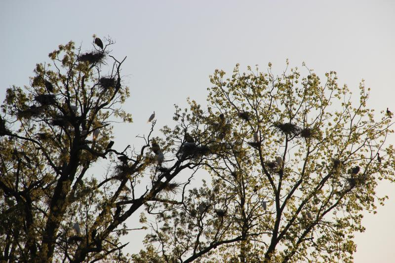 Great blue herons nesting in Kensington Metropark.