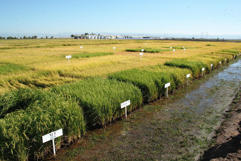 A rice farm in California. These test plots are being used by rice farmers to find ways to limit the amount of arsenic getting into rice.