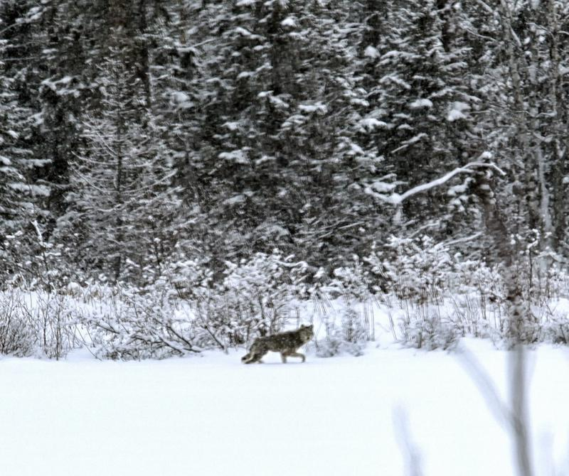 A wolf in a snow storm at the Seney National Wildlife Refuge.