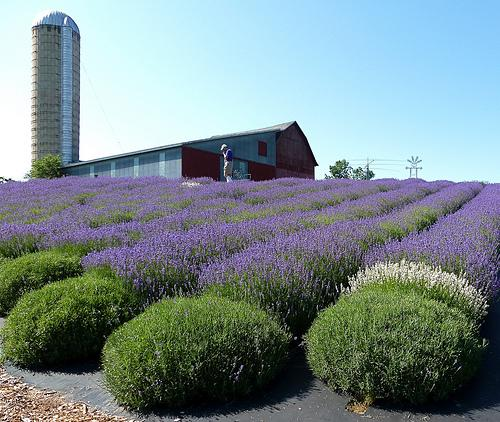 Lavender being grown in Michigan.