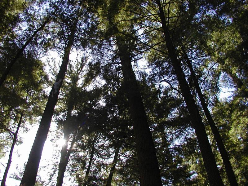 Hartwick Pines.