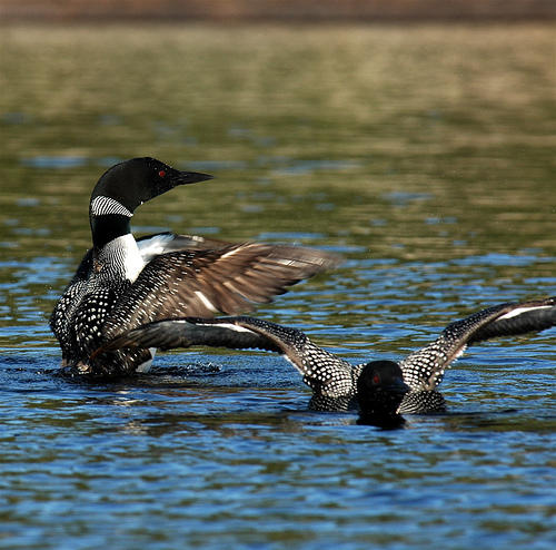 Common loon is one of the climate endangered species in Michigan.