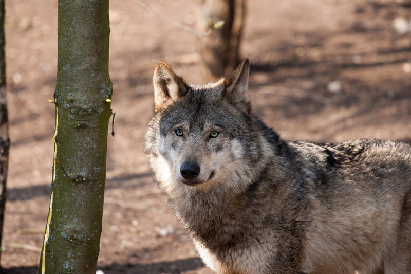 Voters will get to weigh in on two laws that allowed gray wolf hunting in the Upper Peninsula.