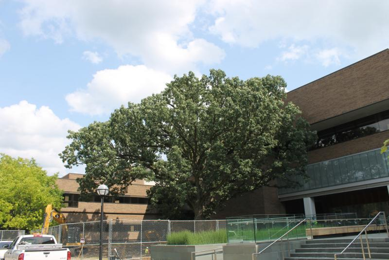This 250-year-old bur oak tree on the University of Michigan's campus will be moved on Oct. 25, weather permitting.