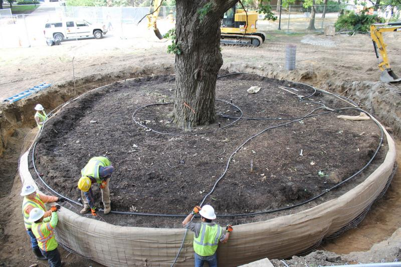 The crew preparing the root ball this summer.