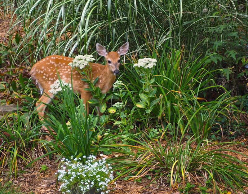 Young baby the deer eating flowers in the summer.