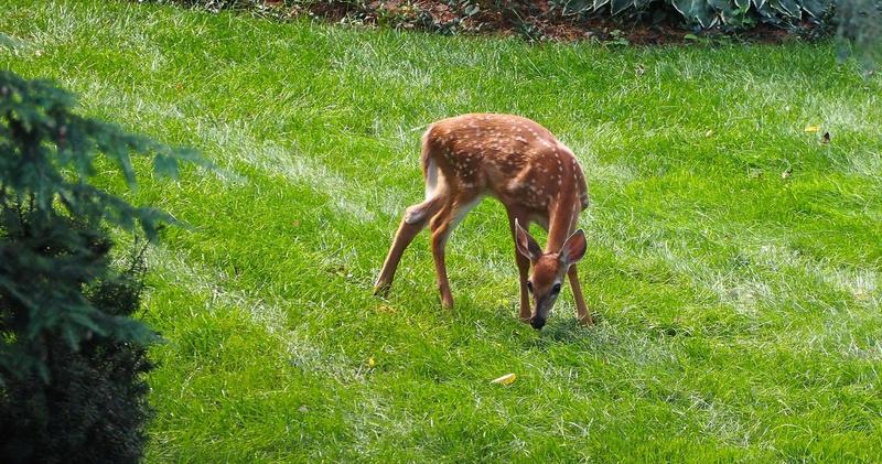 A young Baby the deer.