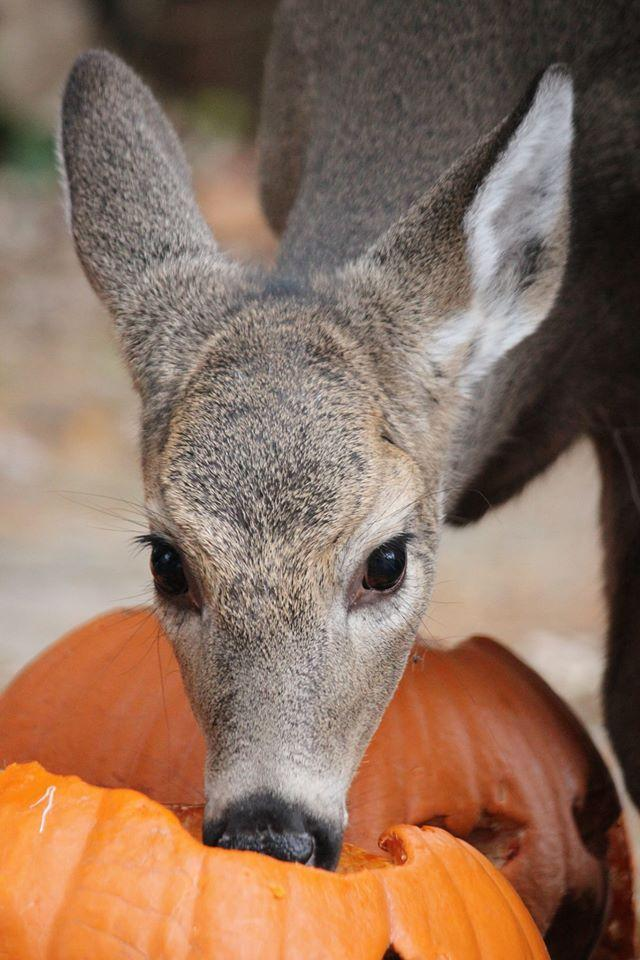 Baby the deer eating left over pumpkins from Halloween.