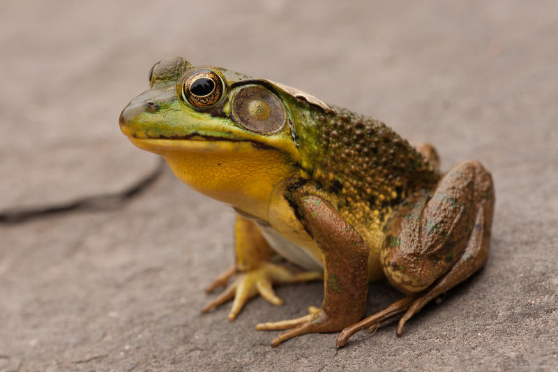 Jack will be the mayor of citizens such as this Green Tree Frog.