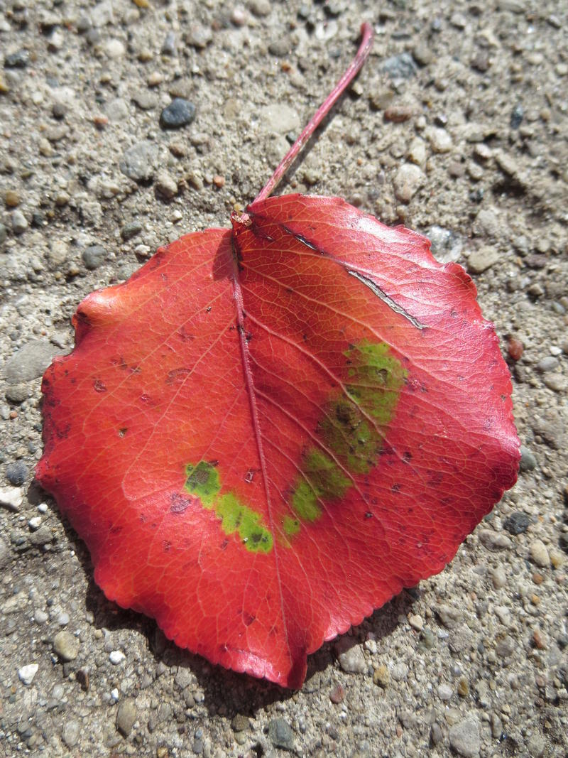 A fall leaf on Election Day.