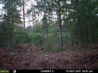 This trail camera photo of a cougar was taken on public land in western Mackinac County in early November.
