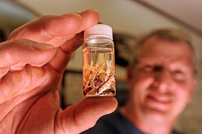 Roger Greil, manager of LSSU's Aquatic Research Laboratory, holds up a container full of Atlantic salmon fry that were hatched in the wild, not in the lab's hatchery.