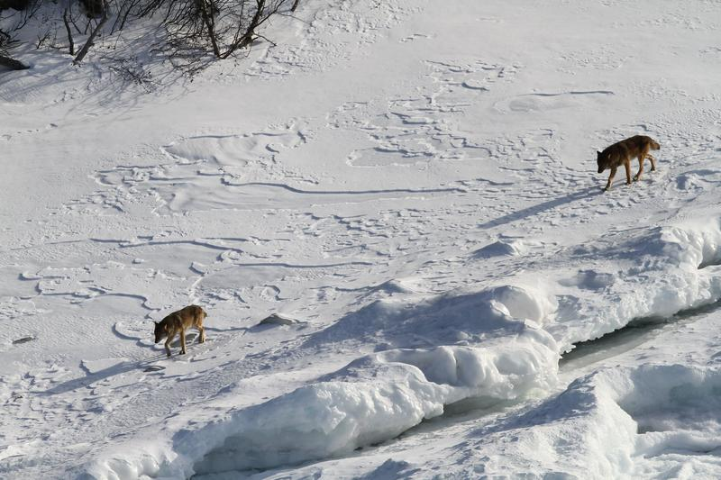 Two members of the West Pack in 2014, traveling along shoreline ice at Isle Royale.