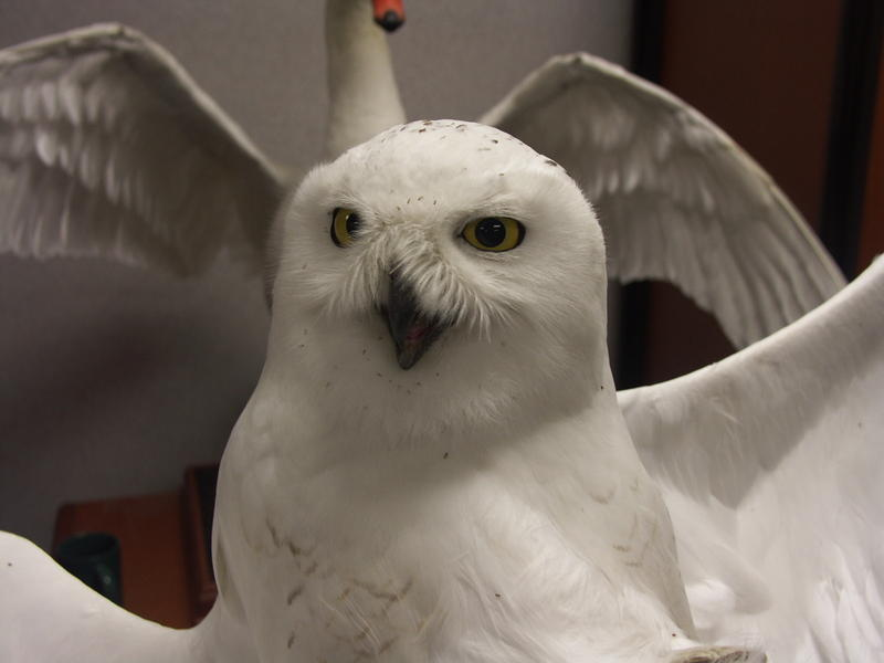 Alma, a snowy owl, was outfitted with a transmitter that tracks his movements across the U.S.
