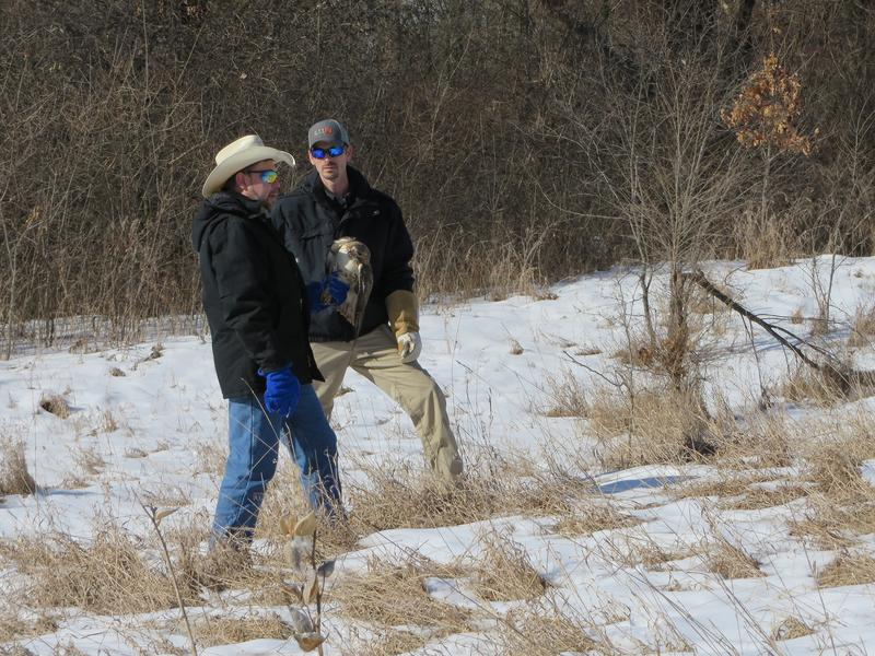 Wildlife biologists Brian Washburn, left, and Aaron Bowden with USDA Wildlife Services get ready to release a redtailed hawk. Bowden catches birds from airports and relocates them to avoid bird-plane collisions.