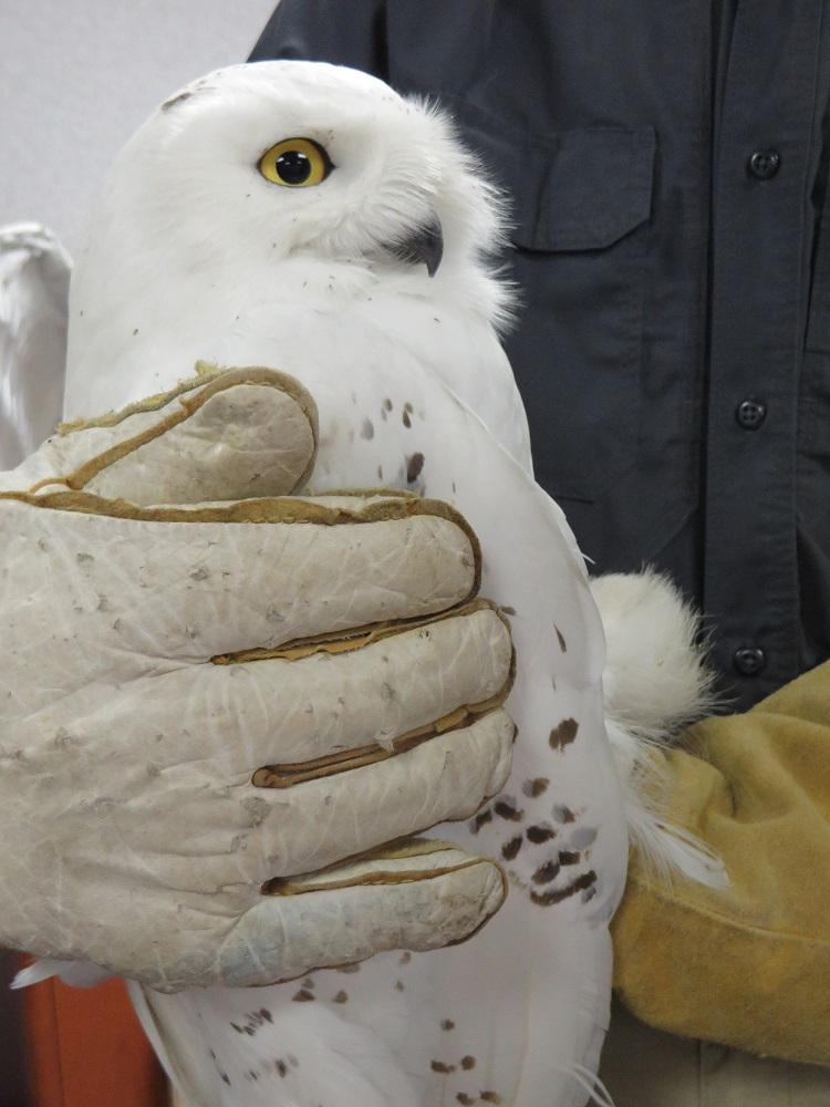 An adult male snowy owl the Project SNOWstorm team has named Alma, in honor of Alma College (they bought the transmitter).