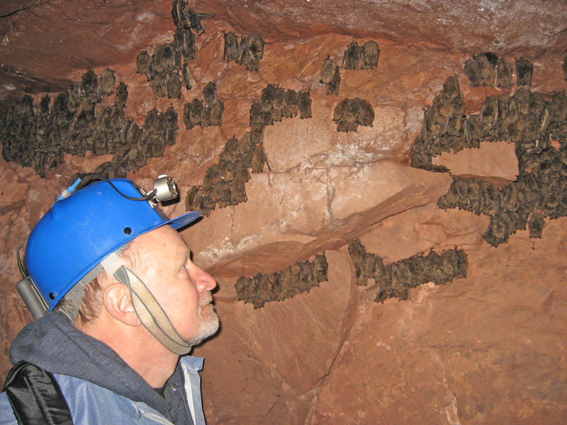 Allen Kurta, PhD, examines bats hibernating in a mine in the Porcupine Mountains.