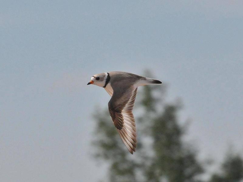 Piping plover in flight.