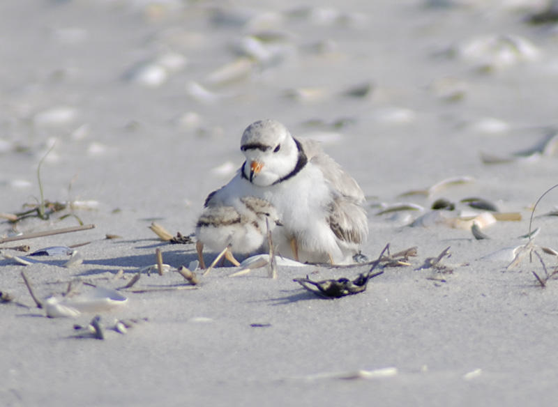 A plover and her chicks.