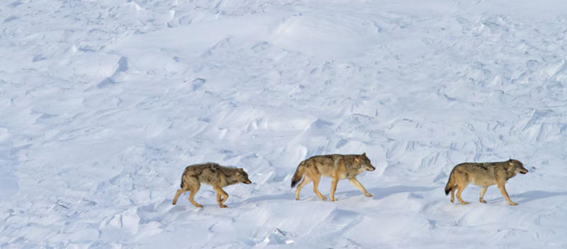 A photo of the three wolves left on Isle Royale.