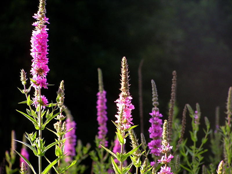 Purple Loosestrife is an invasive plant found in wetlands and on roadsides throughout much of North America.