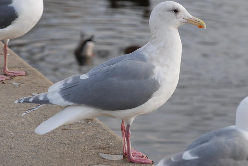 The herring gulls of Bellow Island played a large role in the US government's decision to ban the use of DDT.