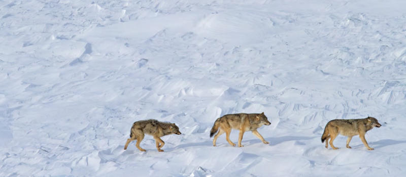 Researchers believe these are the only remaining wolves on Isle Royale National Park — a mated pair and their offspring (left).