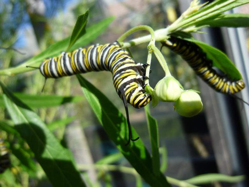 Monarch caterpillars can die if they are exposed to milkweed that has been treated with neonicitinoids, a type of insecticide.
