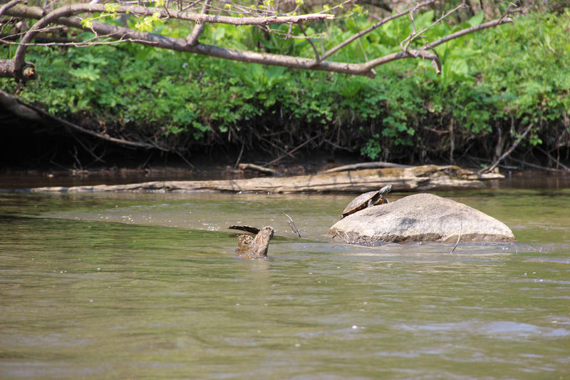 A painted turtle warms itself on a rock in the Kalamazoo River.
