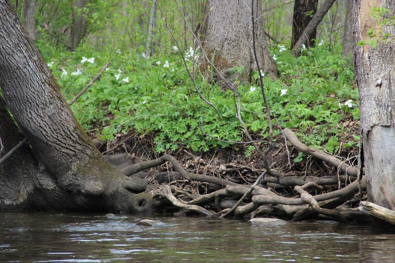 Trillium blooming along the shore of the Kalamazoo River.