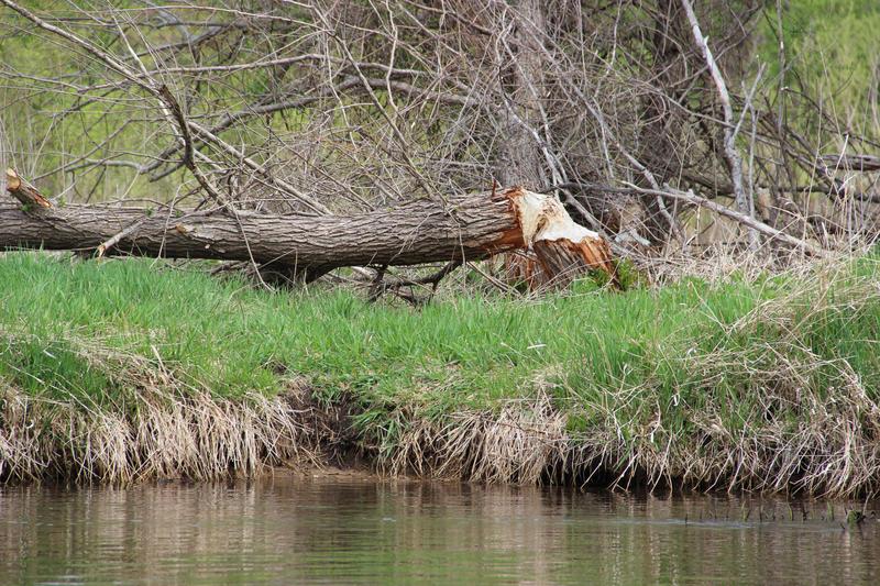 Tree felled by a beaver along the Kalamazoo River.