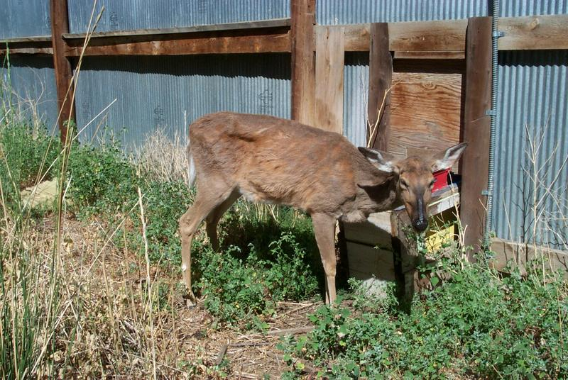 A deer infected with chronic wasting disease will look very thin and can start drooling. Infected deer also become tame and less afraid of people.