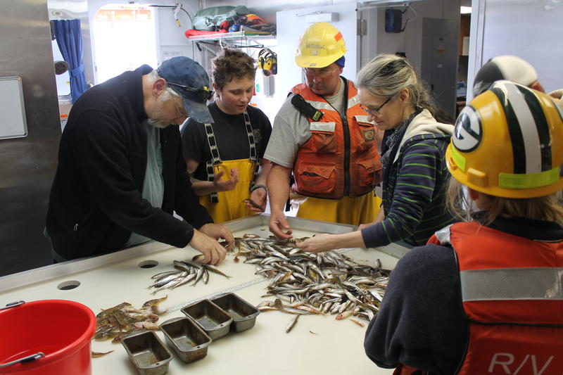 Researchers examine herring.